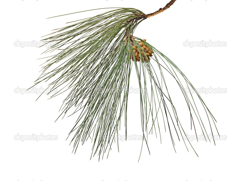 Pine branch with cone isolated on white background — Stock Photo #9721299