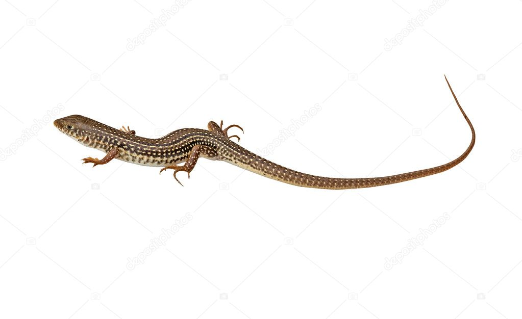 Close up of lizard — Stock Photo #9721438