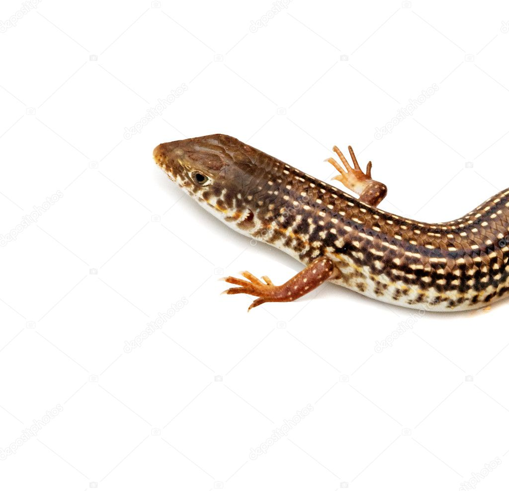 Close up of lizard — Stock Photo #9721450