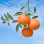 Tangerines on branch — Stock Photo