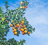 Branch with ripe oranges — Stock Photo
