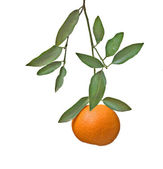 Tangerine on branch — Stock Photo
