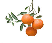 Three tangerines on branch — Stock Photo