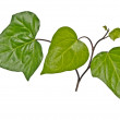 Ivy isolated on white background — Stock Photo