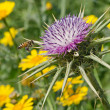 Stock Photo: Flowering Spear Thistle (Cirsium vulgare)