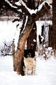 Bulgarian dog — Stock Photo