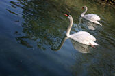 Swan and pen — Stock Photo