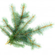 Stock Photo: Branches blue spruce ветки голубой ели