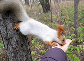 Squirrel takes food from hand — Stock Photo