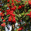 Red ash (Sorbus aucuparia L)   Рябина красная - Stock Photo