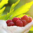 Stock Photo: Handful of ripe raspberries
