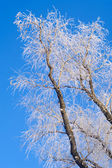Frosty trees — Stock fotografie