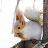 Winter white squirrel белка — Stock Photo