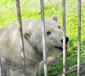 Polar bear in zoo — Stock Photo