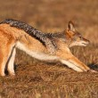 Stock Photo: Jackal stretching after morning snooze