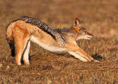 Jackal stretching after a morning snooze — Stock Photo