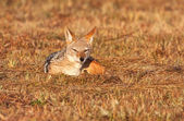 Jackal lying in the grass — Stock Photo