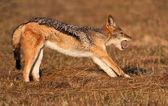 Jackal stretching out — Stock Photo
