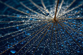 Wet dandillions with lots of droplets — Stock Photo