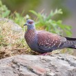 Speckled pigeon sitting on rock — Stock Photo #10535647