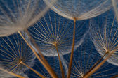 Dandilion seeds against a blue background — Stock Photo