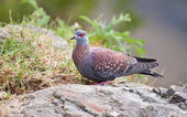 Speckled pigeon sitting on a rock — Stock Photo
