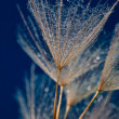 Water drops on dandilion seeds — Stock Photo
