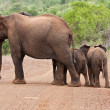 Elephant mother and two babies — Stock Photo