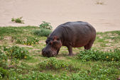 Hippo eating green grass — Stock Photo