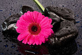 Pink flower on wet,black rocks — Stock Photo