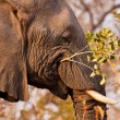 Stock Photo: Elephant eating branch with leaves