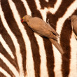 Stock Photo: Redbilled-oxpeckers on zebra's body