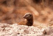 彼の家の外を見て小さな mongoos — ストック写真