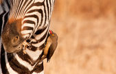 Redbilled-oxpecker pecking on zebra's neck — Stock Photo