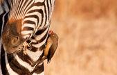 Redbilled-oxpecker pecking on zebra's neck — Stock Photo