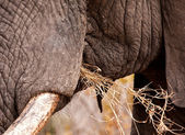 Close-up of elephant eating — Foto Stock