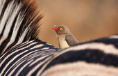 Redbilled-oxpecker sitting on zebra's back — Stock Photo