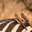 Stock Photo: Two redbilled oxpeckers