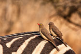 Two redbilled oxpeckers — Stock Photo