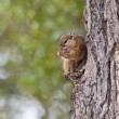 Tree squirrel eating a nut — Stock Photo
