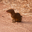 Stock Photo: Small mongoos sitting in dirt road