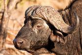 Close-up de uma cabeça de búfalo — Foto Stock