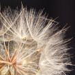 Dandilion seeds ready to be blown away — Stock Photo