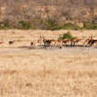 Herd of impala drinking water - Stock Photo