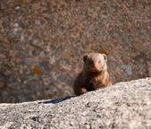 Dwarf mongoos sitting on a rock — Photo
