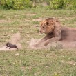 Male lion chasing baby wartog — Stock Photo