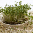 Stock Photo: Fresh alfalfsprouts and cress on white background
