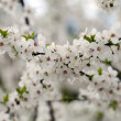 Flowers of the cherry blossoms on a spring day — Stock Photo #10342110