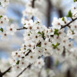 Flowers of the cherry blossoms on a spring day — Stock Photo