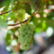 Stock Photo: White grapes in vineyard